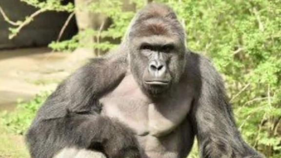 exp Cincinnati gorilla incident: eyewitness account_00002001.jpg
