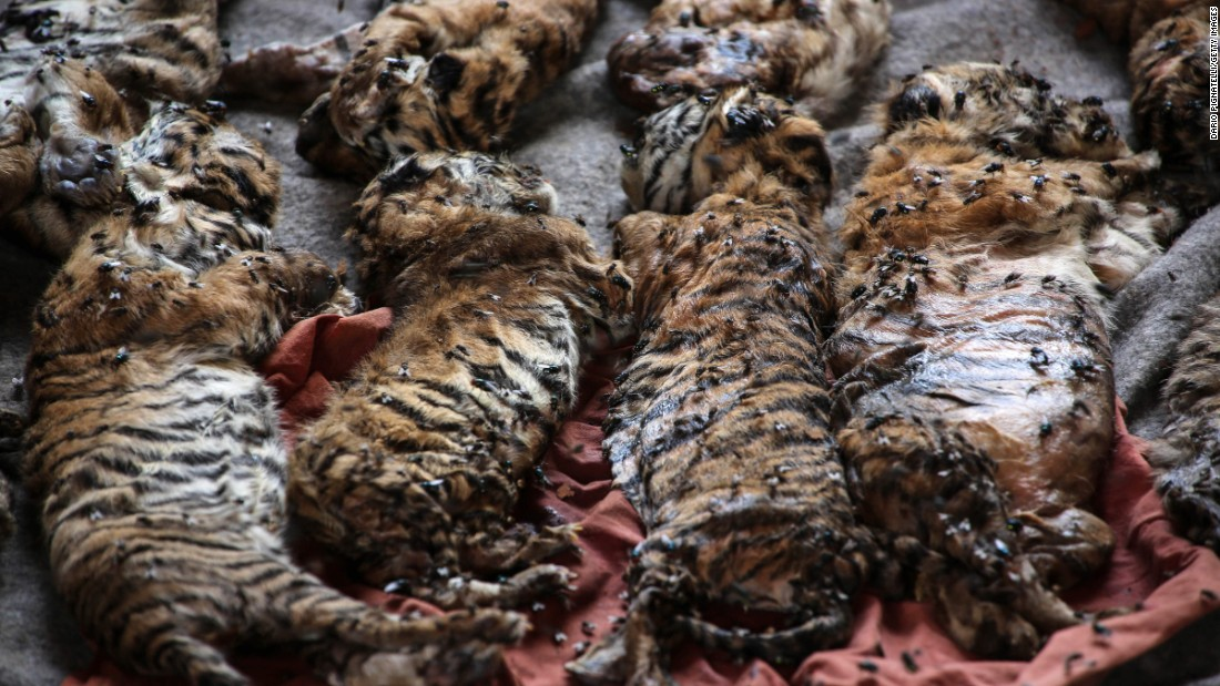 "The remains of 40 newborn tiger cubs <a href=""http://www.cnn.com/2016/06/01/asia/thailand-tiger-temple-cub-bodies-found/"" target=""_blank"">were found in freezers</a> at a Buddhist temple in Thailand's Kanchanaburi Province. The Wildlife Conservation Office is investigating the motives behind the temple storing the bodies and is looking into the possibility that it is smuggling tiger parts, the organization's director told CNN. The ""Tiger Temple"" has long been popular with tourists who could walk among live tigers there and pose for photos. The temple has said it is a sanctuary for wild animals, but authorities started removing the tigers on Monday, May 30. Suthipong Pakcharoong, the vice president of the Wat Pha Luang Ta Bua Temple Foundation, told CNN that the temple would comply with the court order but that ""there is nothing illegal and dangerous at all."""