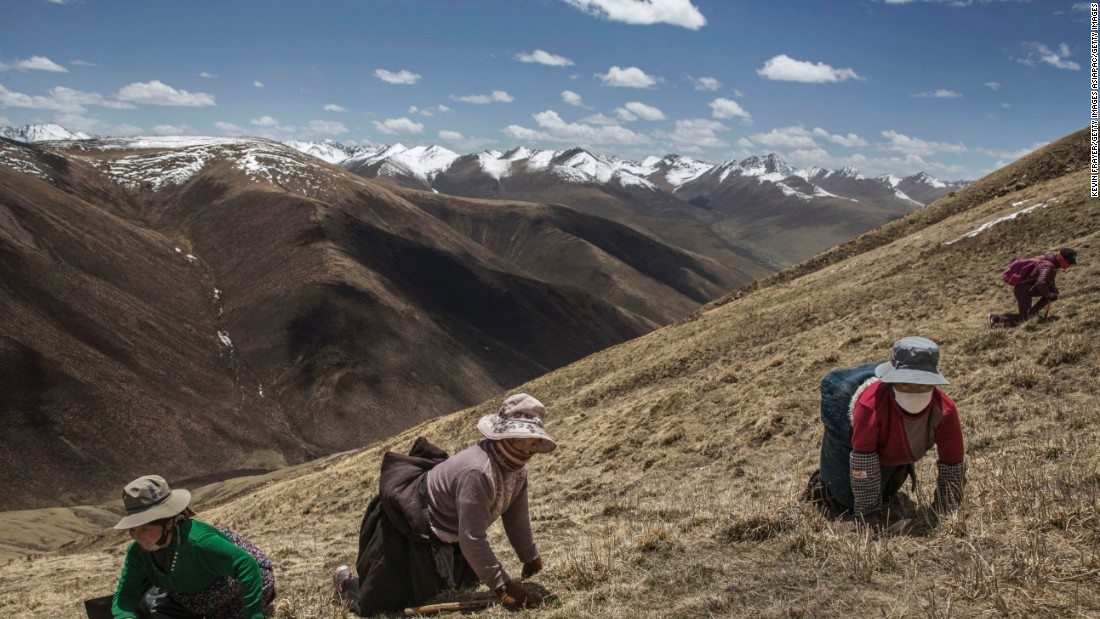 Frayer traveled to a remote part of the Tibetan Plateau in China's northwestern Qinghai province. The region is home to the cordyceps, also known as caterpillar fungus, which thrives in these high altitude, low temperature hills.