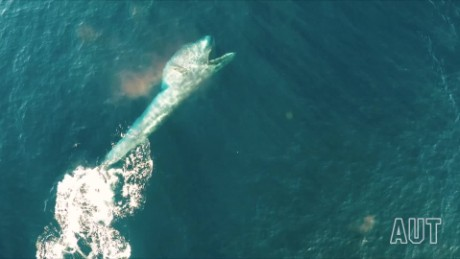 bryde whale feeding drone video cnn_00000603.jpg