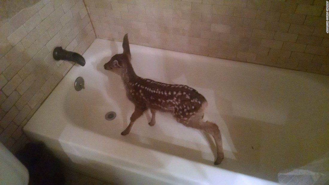 Fawn in bathtub surprises Colorado man - CNN