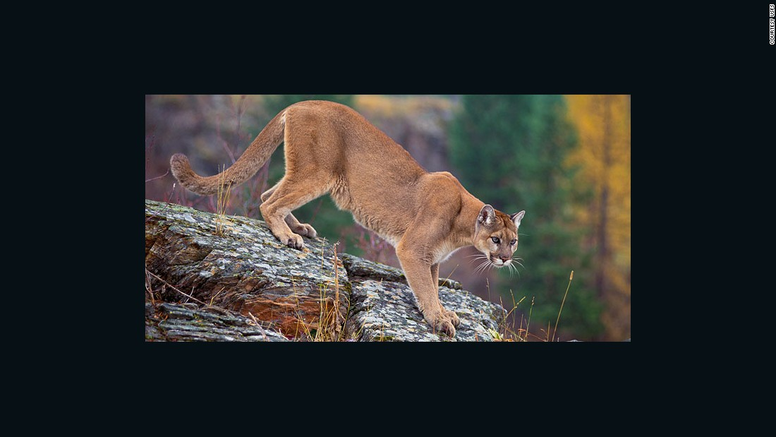 comparing mountain lion and badger essay Shop / fetishes / animal-mountain-lion badger bear eagle mole mountain lion turtle wolf elusive mountain lion of snowflake obsidian.