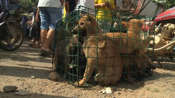 Activists are trying to save dogs from Yulin's dog meat festival in China, where they are sold, cooked and eaten.