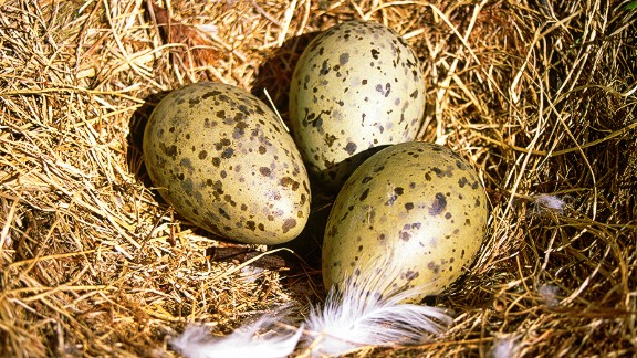 Seagull eggs are a delicacy in northern Norway. Locals like to eat them hard-boiled and washed down with a pilsner beer from Tromso