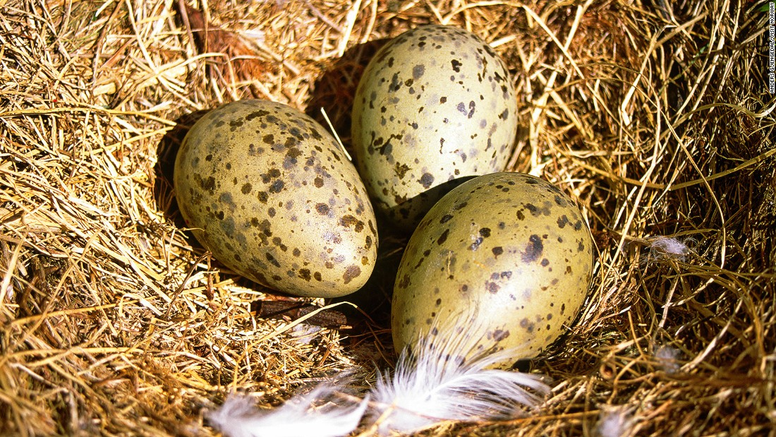 Seagull eggs are a delicacy in northern Norway. Locals like to eat them hard-boiled and washed down with a pilsner beer from Tromso's Mack's brewery.