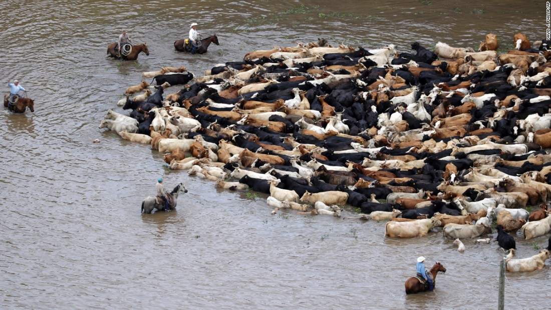 Cattle are herded through floodwaters near Chenango, Texas, on Saturday, June 4.