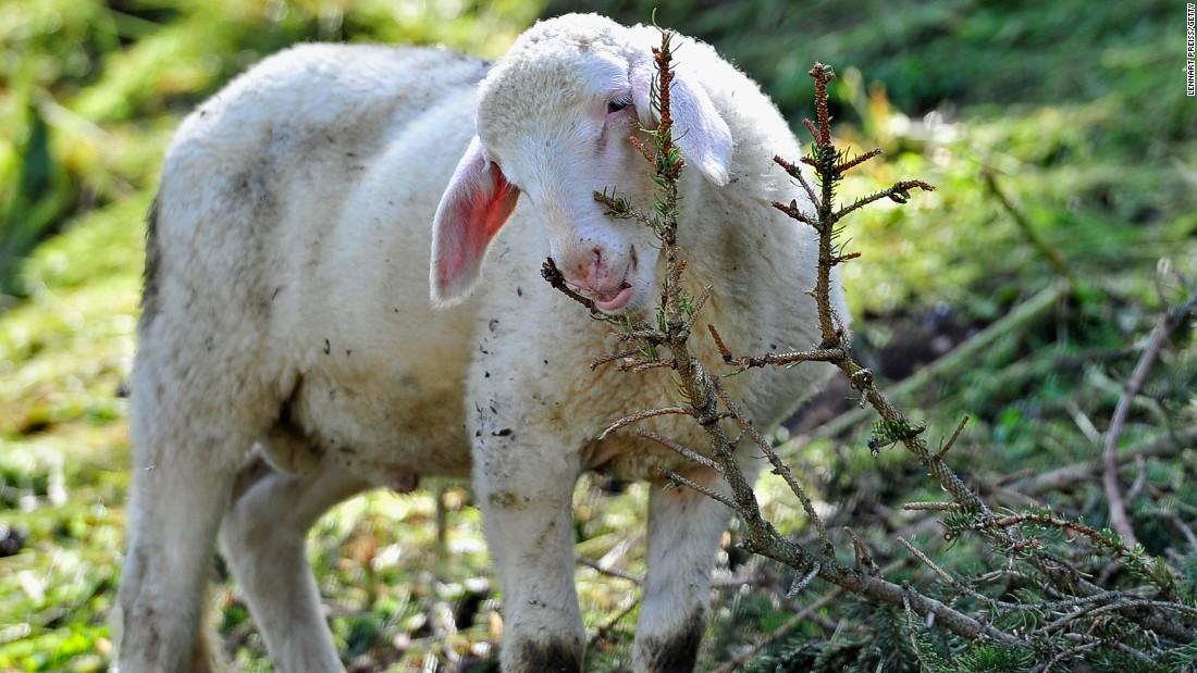 160627154703 grazing sheep super tease.'