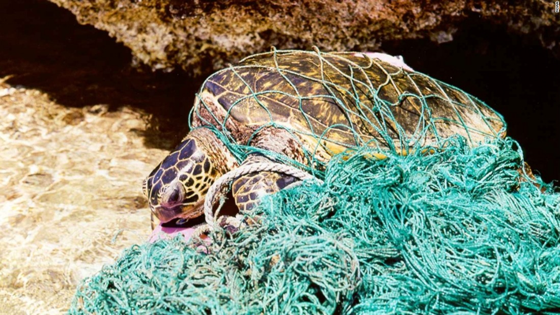 Sea turtles fall victim to ghost fishing nets.