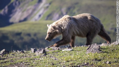 Between May 30, 2015 and September 18, 2015, 61 bear-human interactions have been documented In Denali National Park, according to the park website.