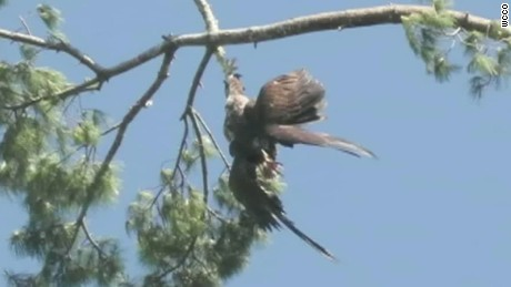 man saves eagle by shooting tree pkg_00013326