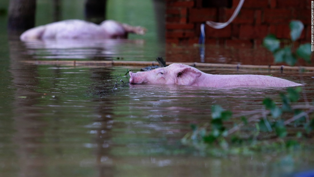 A pig swims in flood waters after Jushui river broke the dyke and flooded Dongchun near Wuhan July 3. The floods have destroyed crops and livestock.