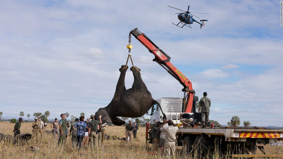 Once asleep, the elephant is airlifted onto a truck. <em>Photo: Frank Weitzer</em>