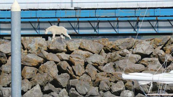 A goat wanders in Seward, Alaska. The mountain goat jumped into the ocean to get away from crowds.