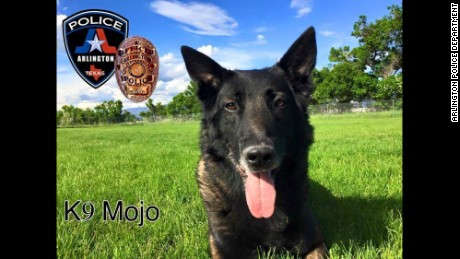 Mojo, a Belgian Malinois, joined the department when he was 2 years old in 2010.