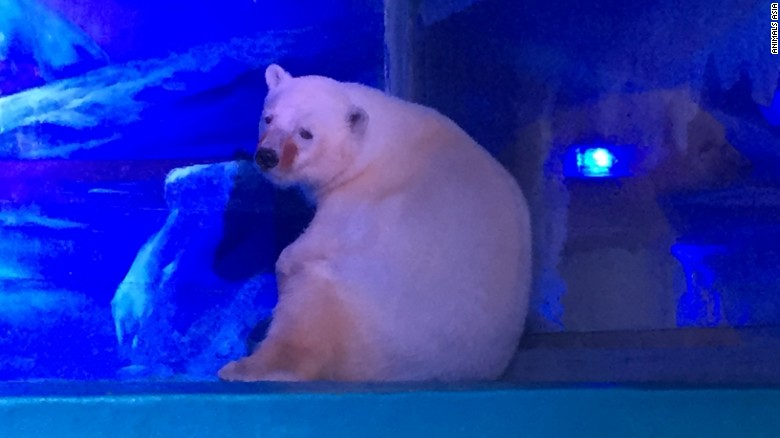 Saving the world's 'saddest polar bear'