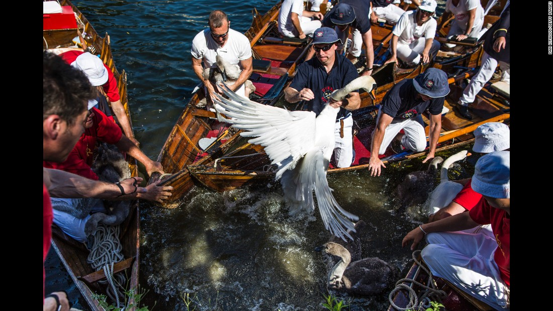 Swans and cygnets are rounded up in London's River Thames to be weighed and tagged during the annual Swan Upping census on Monday, July 18. The ceremony, which goes back to the 12th century, ensures that the swan population is maintained. The birds are also assessed for any signs of injury or disease.