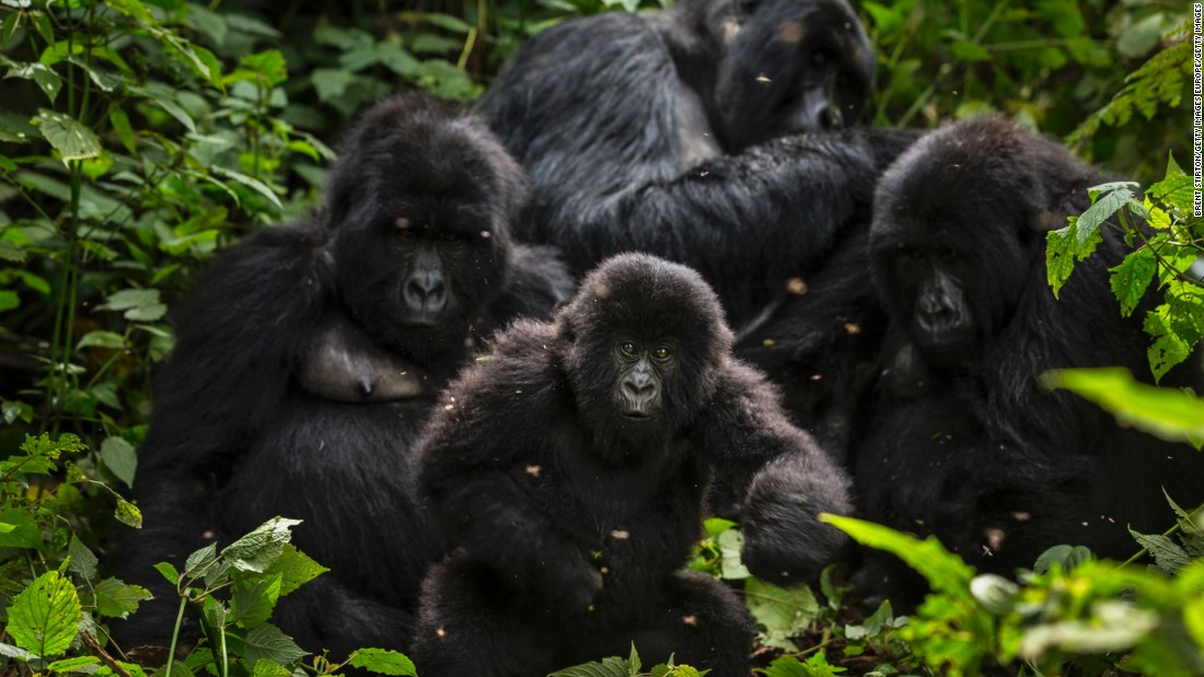 Intensive conservation efforts have seen the park's mountain gorilla population climb from 254 in the 1980s to around 480 today, although they remain on the endangered list.