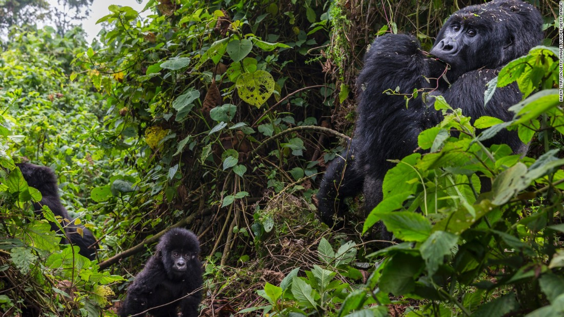 The largest mountain gorilla population in the world is in Virunga National Park, the oldest national park in Africa, and the continent's most biologically diverse protected area. <br /><br />This environment is under constant threat from conflicts, deforestation, and poaching, and Virunga authorities are now pursuing a strategy of developing power infrastructure, which it is hoped will deliver prosperity that will reduce the violence and criminal damage inside the park.