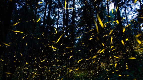 In this July 21, 2016 photo, fireflies light up a section of a forest in Mexico. At times, hundreds of the bioluminescent beetles will synchronize their lights, blinking on and off in perfect rhythm. Click through the gallery to see other bioluminescent organisms.