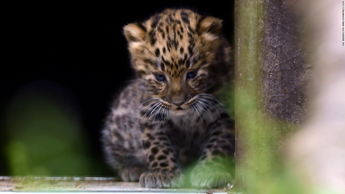 rare amur leopards born at british zoo