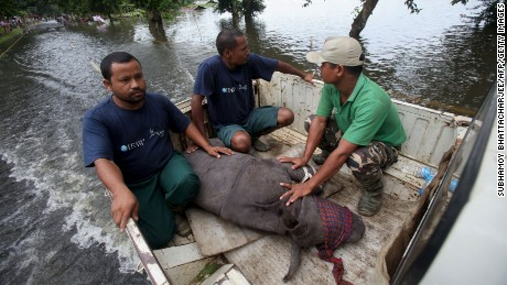 A rescued infant rhino calf is transported to safety after being found by wildlife officials and volunteers in flood waters in India's Kaziranga National Park on July 27, 2016.