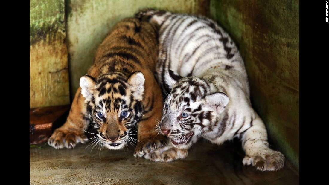 Bengal tiger cubs play at a zoo in Medan, Indonesia, on Monday, August 1.