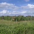 Elephants & Bees Project Beehive fence protecting Maize