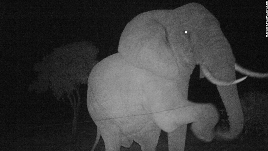 An elephant attempts to negotiate a beehive fence wire at night. Bees are known to sting elephants in the trunk, around the eyes and mouth.