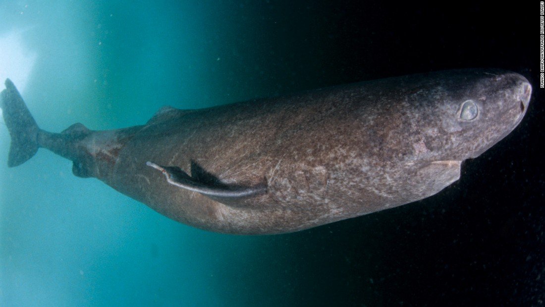 "Greenland sharks, which live an average of at least 272 years, rank as the longest-lived vertebrates on Earth, a <a href=""http://science.sciencemag.org/cgi/doi/10.1126/science.aaf1703"" target=""_blank"">new study</a> indicates; they may live beyond 400 years. The joys of a long life are surely countless, but there's one small hitch: These sharks do not achieve sexual maturity until 150 or so. These natives of the North Atlantic Ocean can grow to be 21 feet long and 2,000 pounds. Blind due to the many parasites crowding their eyes, these sharks are said to have an impeccable sense of smell, which they make ample use of when they hunt."