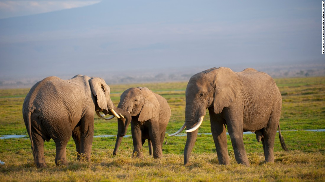 "Rare aquatic species generally put land animals to shame in terms of lifespan, and yet the African elephant deserves mention. In the wild, this beast can live to be 70 years old, according to the <a href=""http://wwf.panda.org/what_we_do/endangered_species/elephants/african_elephants/"" target=""_blank"">World Wildlife Fund</a>. African elephants can grow to more than 12 feet tall and can weigh in at about 14,000 pounds. For the most part, females are fertile between the ages of 25 and 45, while it takes males about 20 years to compete in the mating game and fulfill the biological imperative to pass on their genes. Tusks are grown by both the males and the females for self-defense."