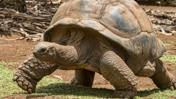 "The old Spanish word ""galapago"" means  ""saddle,"" which describes the shape of a giant tortoise"