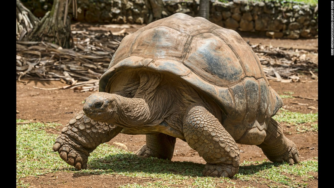 "The old Spanish word ""galapago"" means <br />""saddle,"" which describes the shape of a giant tortoise's shell --<strong> </strong>and became the term used by ancient explorers. This, then, is the origin of the name for the Galapagos Islands, where it is estimated upward of 20,000 wild tortoises live today, according to the <a href=""http://www.galapagos.org/about_galapagos/about-galapagos/biodiversity/tortoises/"" target=""_blank"">Galapagos Conservancy</a>. These turtles are big, averaging 475 pounds packed into just 4 feet. Uniquely, they have developed the ability to survive without food or water for up to a year, and as a result, they commonly live 100 years."