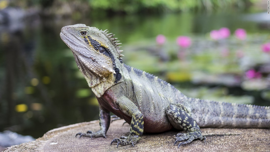 "Tuatara, which live on 32 offshore islands of New Zealand, are the only surviving species in an ancient order of reptiles that lived during the age of dinosaurs. They tip the scales at 2 pounds or less, according to <a href=""https://www.britannica.com/animal/tuatara"" target=""_blank"">Encyclopedia Britannica</a>. They can live more than 100 years, with most arriving safely at 60 -- an age that does not stop some females from continuing to reproduce. The tuatara's bite is strong, with a single row of teeth in its lower jaw fitting into a groove between two rows of chompers in its upper jaw. Though this reptile has no ears, it can hear, and though it has three eyes, only two can see."