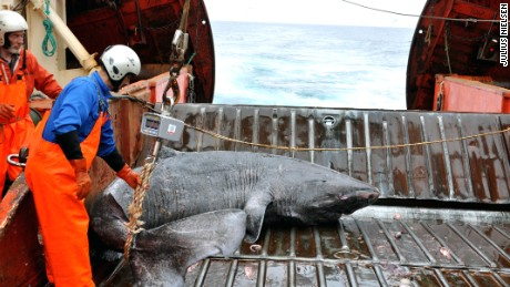 Long in the tooth: Greenland shark named longest-living vertebrate