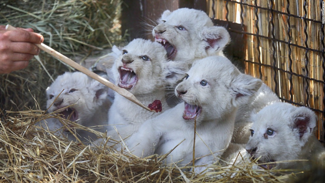 A zoo worker feeds newborn white lions at a private zoo in the Ukrainian village of Demydiv on Thursday, August 11.