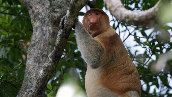 One of the area's most unique creatures is the endangered proboscis monkey who thrives in the swampy mangrove forests and can only be found on Borneo -- munching on fruit, leaves and the odd caterpillar.