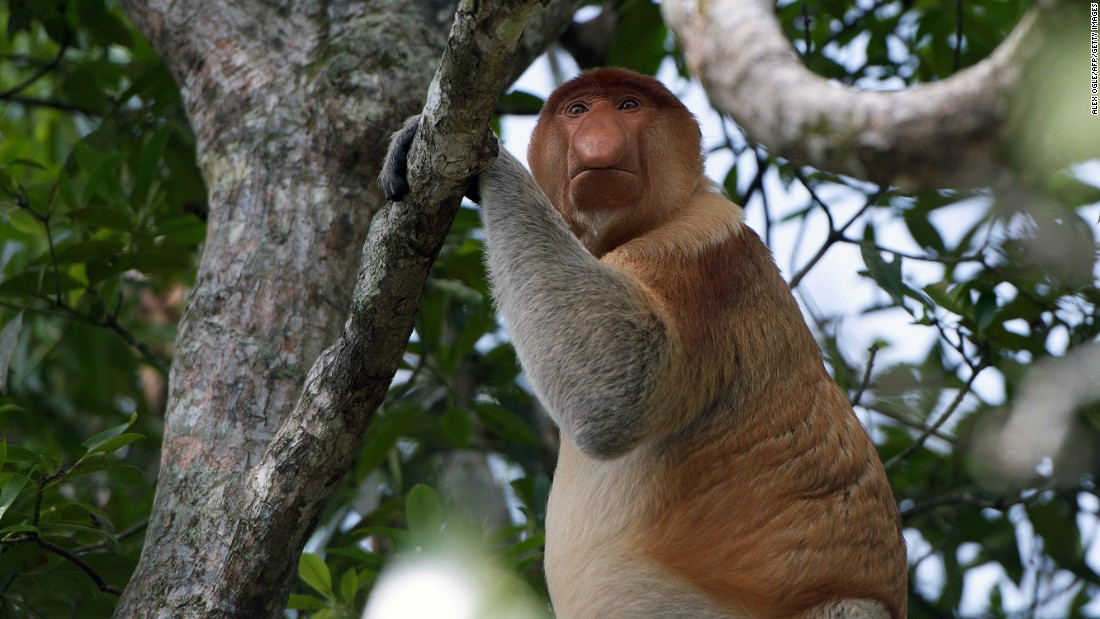 "One of the area's most unique creatures is the <a href=""http://www.iucnredlist.org/details/summary/14352/0"" target=""_blank"">endangered</a> proboscis monkey who thrives in the swampy mangrove forests and can only be found on Borneo -- munching on fruit, leaves and the odd caterpillar."