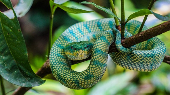 Brightly colored and venomous, this snake is a patient predator and can stay put for weeks on end as it waits for the perfect opportunity to snatch its prey -- usually birds or rodents, according to 1Stop Brunei.