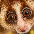 brunei slow lorris