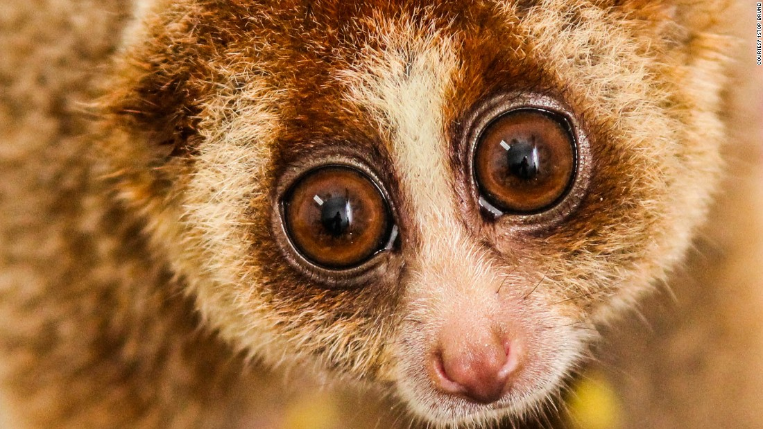 "The pint-sized <a href=""http://www.brookes.ac.uk/microsites/the-slow-loris/slow-loris-facts/"" target=""_blank"">primate</a> is nocturnal and has the longest tongue of all the primates, which they use to drink nectar from flowers. Now endangered, they are among the rarest primates on earth, having diverged from African bushbabies around 40 million years ago. <br />Although these forests' wildlife is under threat, there is hope. Brunei has recently begun to promote ecotourism, which could incentivize stronger conservation efforts in the area, if managed well, says Liaw, which will hopefully mean a brighter future for its fascinating animals."