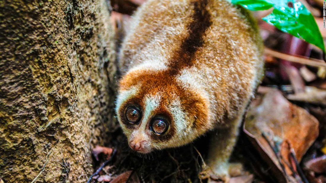 This tiny fella may look sweet, but beware, it is poisonous and capable of giving you a nasty bite. Unfortunately it may be a little too cute for its own good, and is in demand on the illegal pet trading market, according to conservationists working in the area.