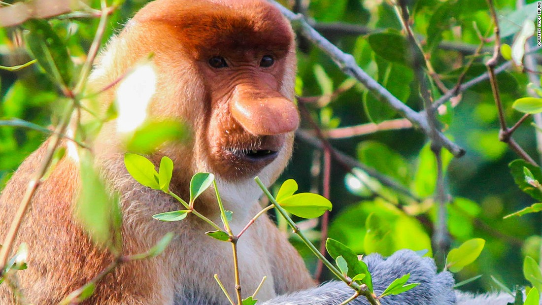 "Though perhaps odd-looking to humans, the males use their long, bulbous noses to attract and <a href=""http://animals.nationalgeographic.com/animals/mammals/proboscis-monkey/"" target=""_blank"">impress females</a>, and they live in harem groups of one male and up to seven females. Their webbed feet make them excellent swimmers and they like to spend most of their time near water."