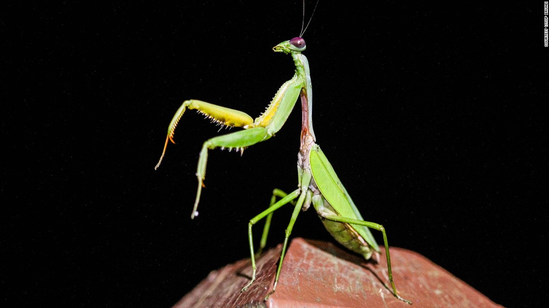 "Due to the way it holds its front legs together as if saying prayers, this insect is named after the Greek word mantis which means prophet or fortune teller. Hardly a picky eater, the carnivorous mantis feasts primarily on other insects, but has been known to eat small reptiles, mammals and even other mantids, especially after mating, when females may decide to <a href=""http://wwf.panda.org/about_our_earth/teacher_resources/best_place_species/current_top_10/praying_mantis.cfm"" target=""_blank"">eat their partners.</a><br />"