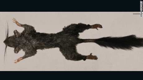 Zenkerella, a squirrel-like creature living in the modern world, has never been found alive and scientists want to know more about it.