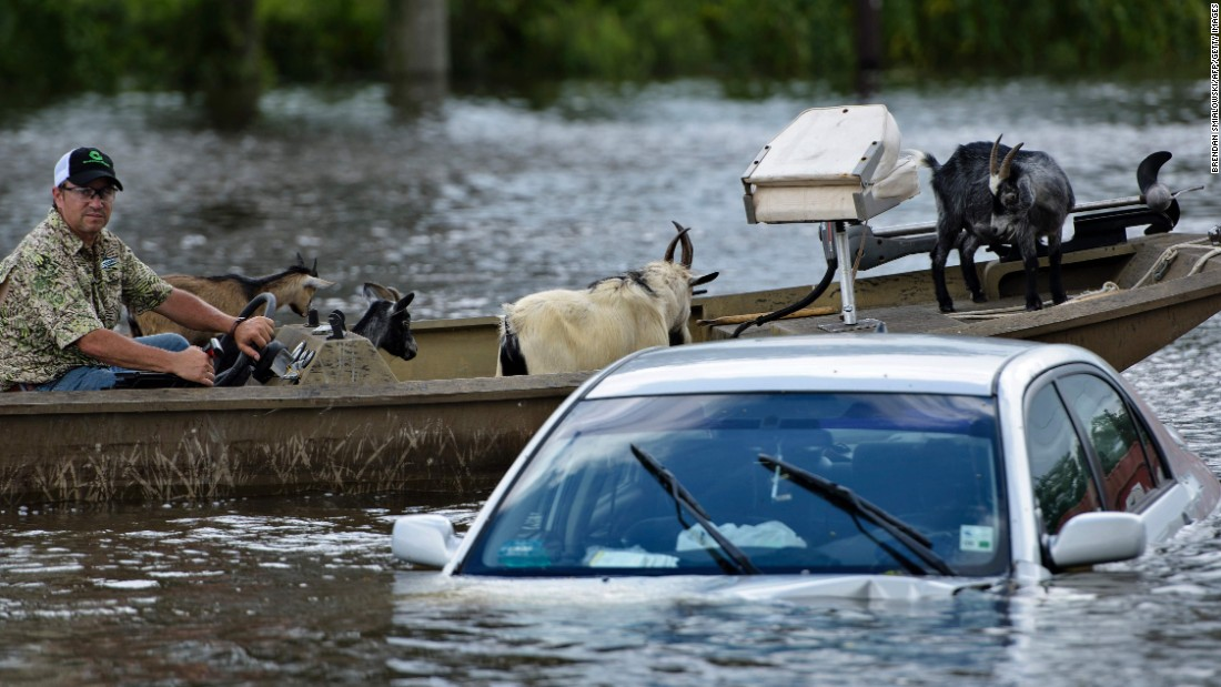 A man navigates a boat of rescued goats  past a partially submerged car in Gonzales on August 16.