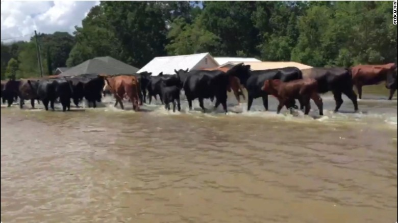 Herd of cattle rescued from Louisiana flooding