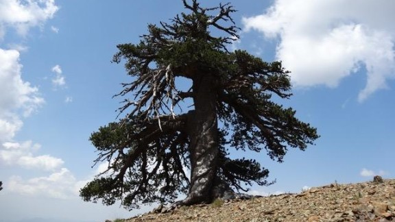 Adonis, a Bosnian pine, is more than 1,075 years old, lives in the alpine forests of the Pindos mountains in northern Greece.