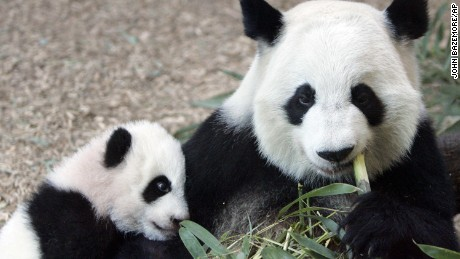 FILE - In this Jan. 12, 2007 file photo, Giant Panda panda mother Lun Lun , right, eats bamboo as her cub Mei Lan explores her new habitat at Zoo Atlanta. Zoo Atlanta said in a news release Tuesday, Aug. 23, 2016, that its veterinary team obtained an ultrasound image from Lun Lun confirming the presence of a second fetus. Lun Lun, who turns 19 on Thursday, was artificially inseminated in March. Her pregnancy was confirmed Aug. 16. (AP Photo/John Bazemore, File)