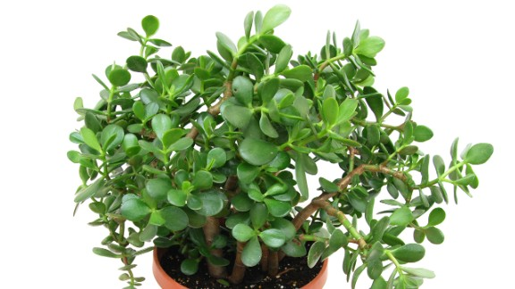 According to a study by chemistry professor Vadoud Niri and his team at State University of New York at Oswego, houseplants are a good way to absorb volatile chemical compounds in the air. These compounds, commonly found in paints, furniture, printers, cleaning supplies and even dry-cleaned clothes, can have adverse health effects. Some plants are more effective in absorbing certain chemicals than others; crassula argentea (jade plant) is very good at absorbing toluene, emitted by cars, gasoline, kerosene, heating oil, paints and lacquers.