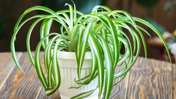 Chlorophytum comosum, a kind of spider plant, can take up more than 90% of o-Xylene, found in fuels, and p-Xylene, found in plastic and rubber products. Smokers may also want to keep this plant around: Over a few days, it can absorb 90% of formaldehyde and carbon monoxide, ingredients of cigarette smoke.